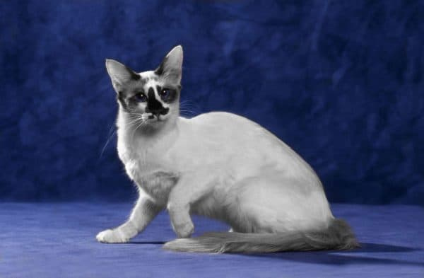 Балинезийская кошка. Описание породы, фото, видео, характер и цены.