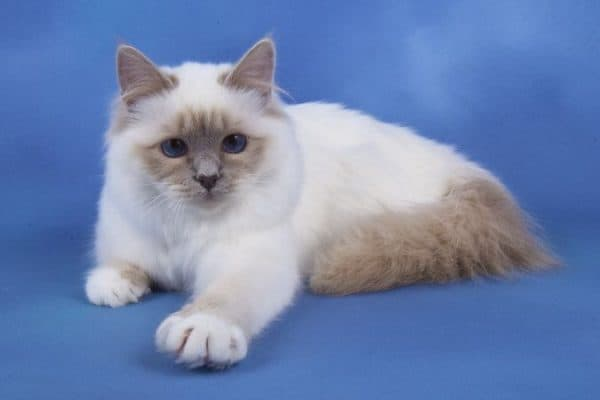 Бирманская кошка лилак пойнт