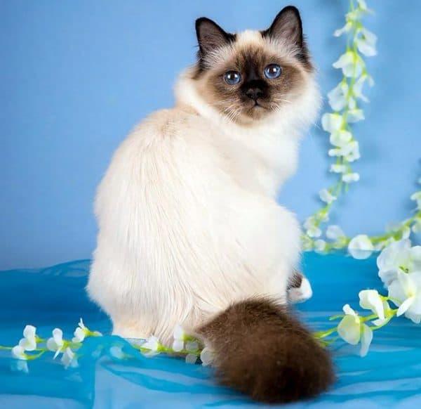 Бирманская кошка шоколад пойнт