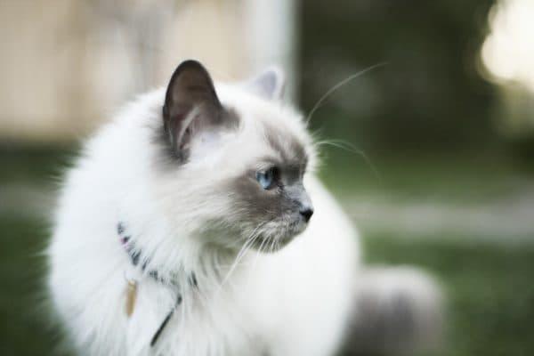 Бирманская кошка смотрит