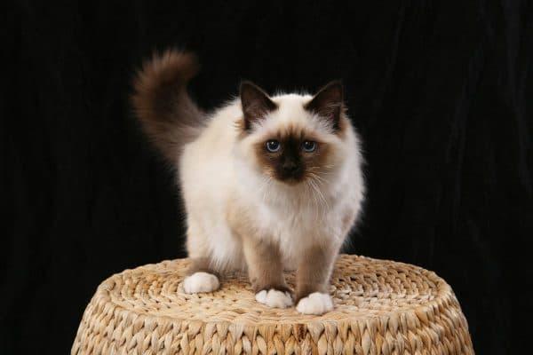 Бирманская кошка. Описание породы, фото кошки, видео, характер и цены.