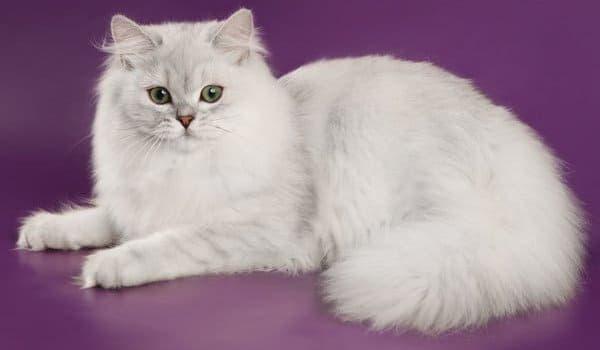 Британская длинношерстная кошка белая