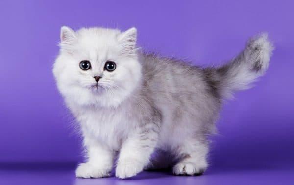 Британская длинношерстная кошка описание