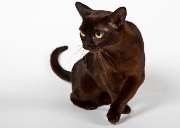 Бурманская кошка - это животное средних размеров