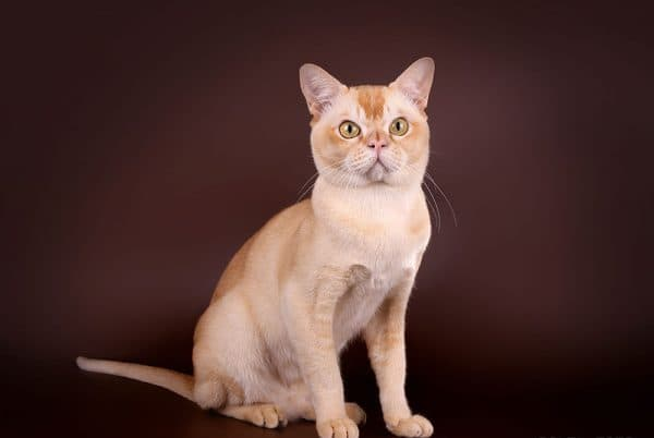 Бурманская кошка красного цвета