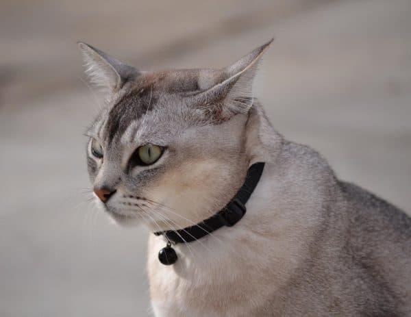 Бурмилла удивительная порода кошек
