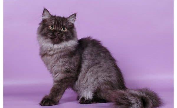 Длинношерстная британская кошка дымчатого окраса