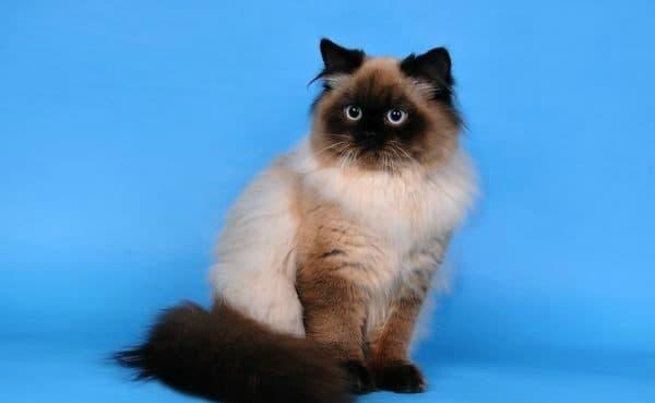 Длинношерстная британская кошка колор-поинт