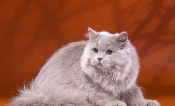 Длинношерстная британская кошка сидит