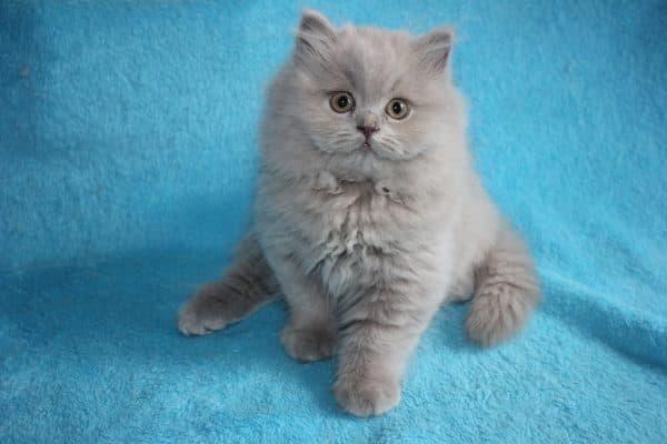 Длинношерстная британская кошка смотрит