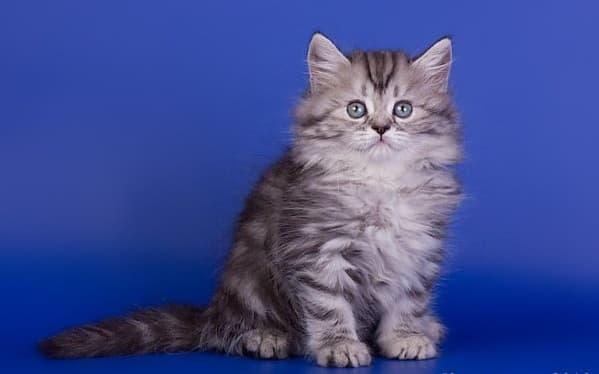 Длинношерстная британская кошка табби