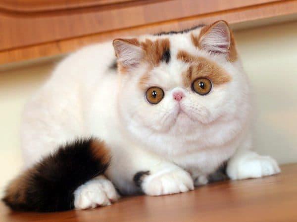Экзотическая короткошерстная кошка черепаховая мраморная биколорная