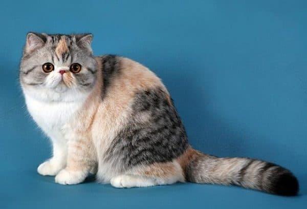Экзотическая короткошерстная кошка красивая