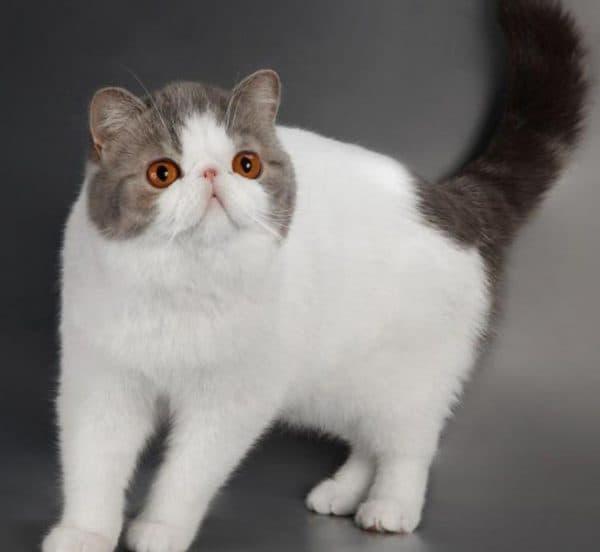 Экзотическая короткошерстная кошка описание