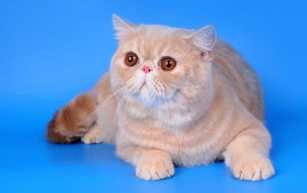 Экзотическая короткошерстная кошка смотрит