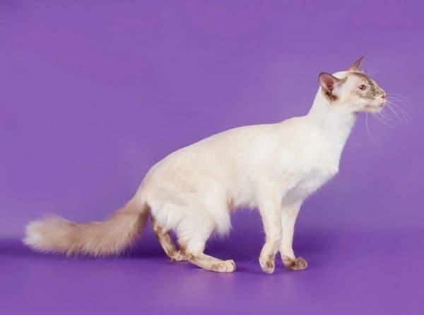 Фото балинезийской кошки