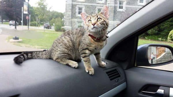 Как перевезти кошку в автомобиле читайте статью