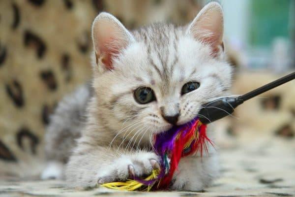 Как правильно играть с домашней кошкой