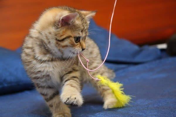 Как правильно играть с домашней кошкой читайте статью