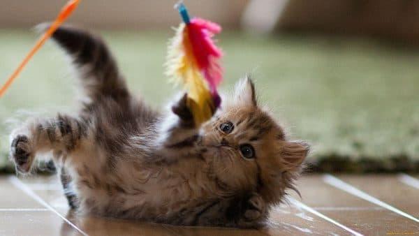 Как правильно играть с домашней кошкой веревочка с приманкой