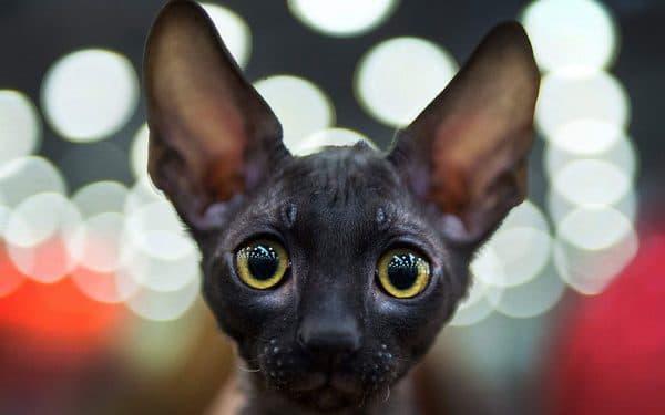 Корниш-рекс. Описание породы, фото кошки, видео, характер и цены.