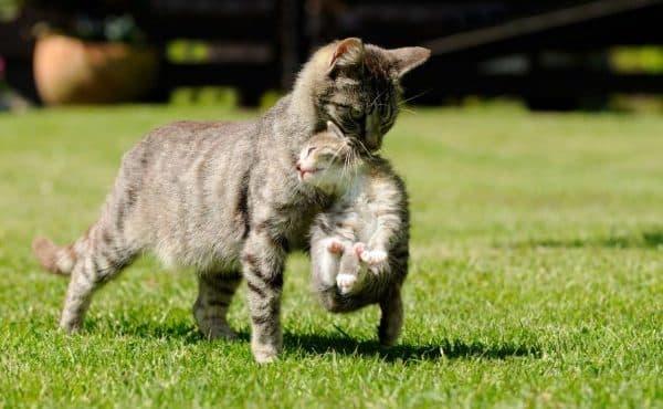 Кошка таскает котят в зубах