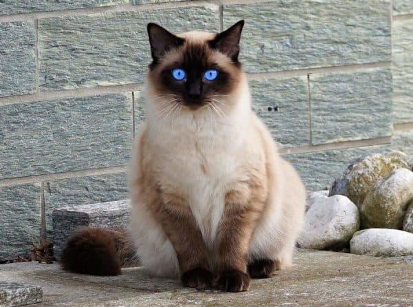 Красивая балинезийская кошка