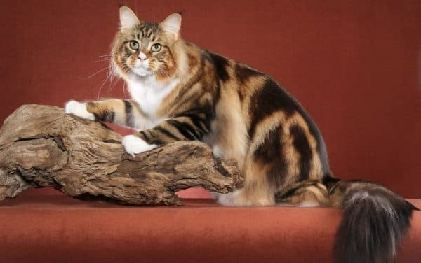 Красивые коты породы мейн-кун