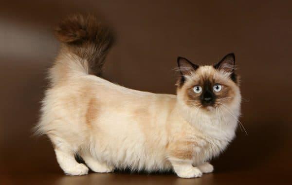 Манчкин прекрасная порода кошек