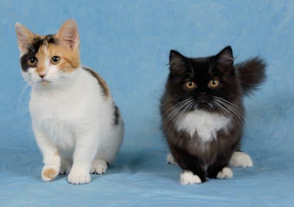 Манчкин - забавная порода кошек с короткими лапками