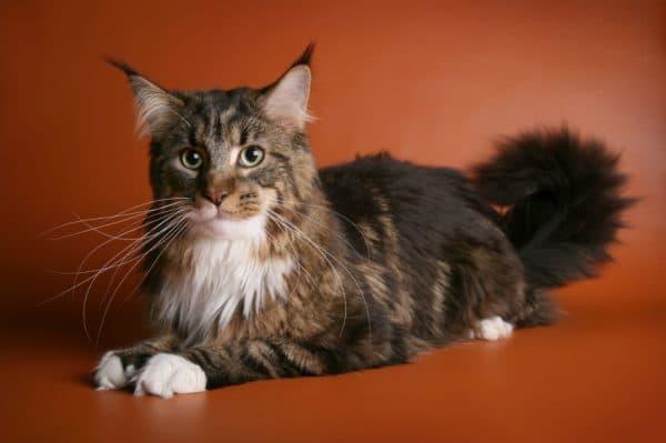 Мейн кун — красивые большие кошки