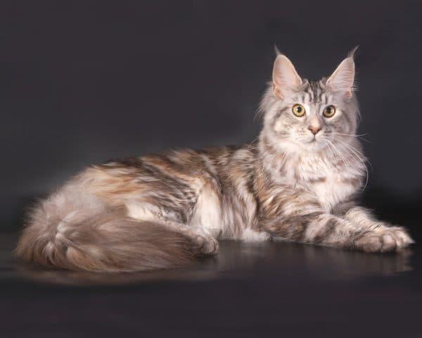 Мейн-кун. Описание породы, фото кошки, видео, характер и цены.