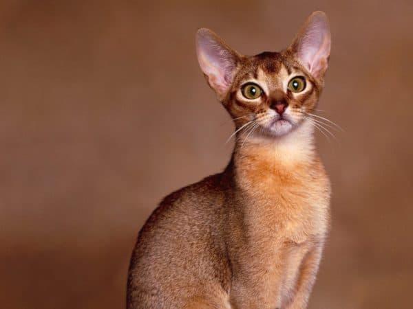 Милая абиссинская кошка