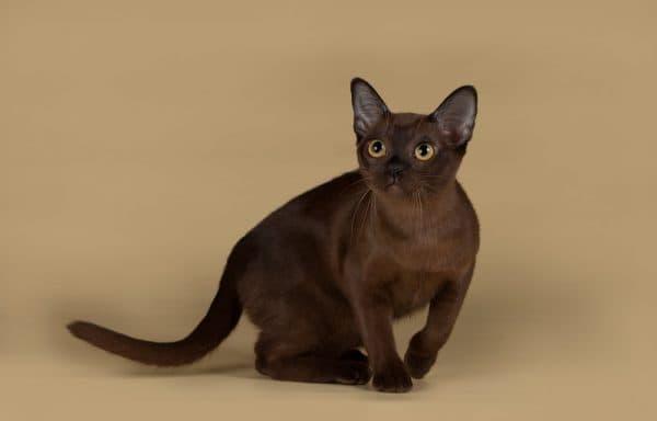 Милая бурманская кошка