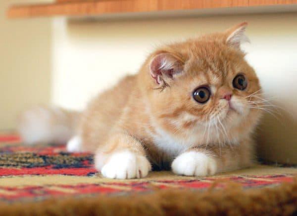 Милая экзотическая короткошерстная кошка