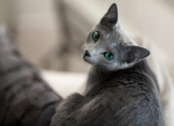 Милая русская голубая кошка