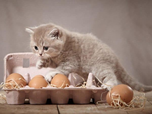 Можно ли кошкам давать яйца читайте статью