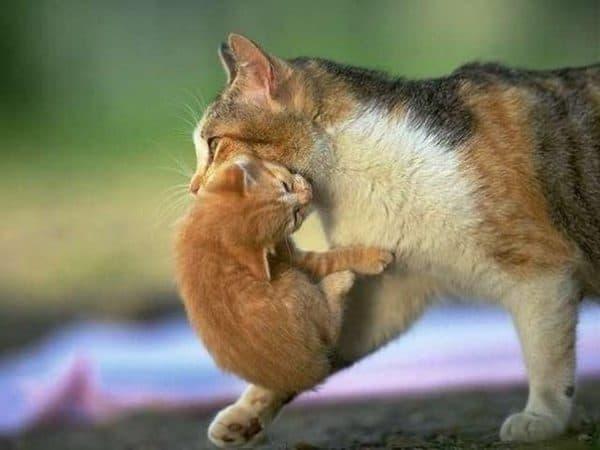 Почему кошка таскает котят в зубах читайте статью