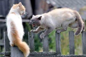 Почему кошки дерутся
