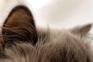 Почему у кошки холодные уши