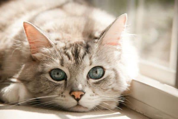 Почему у кошки холодные уши читайте статью