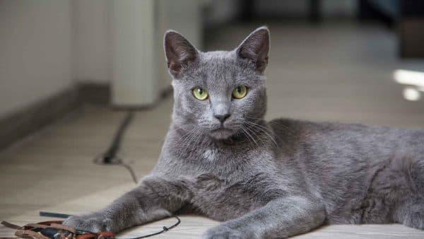 Русская голубая кошка читайте статью
