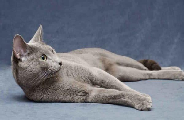 Русская голубая кошка красивая порода