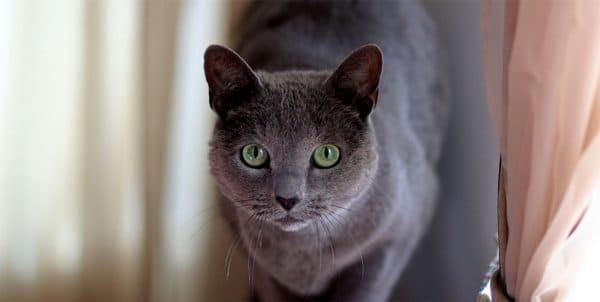 Русская голубая кошка красивое фото