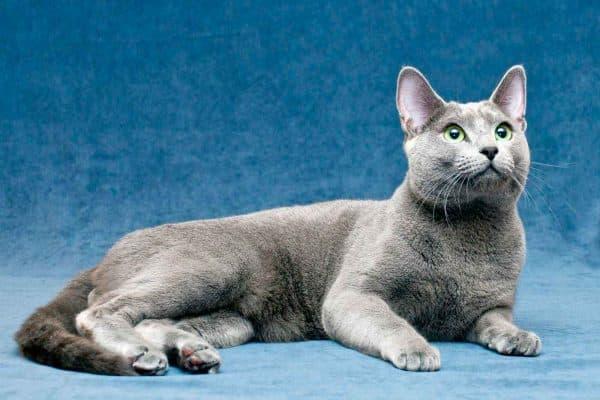 Русская голубая кошка описание