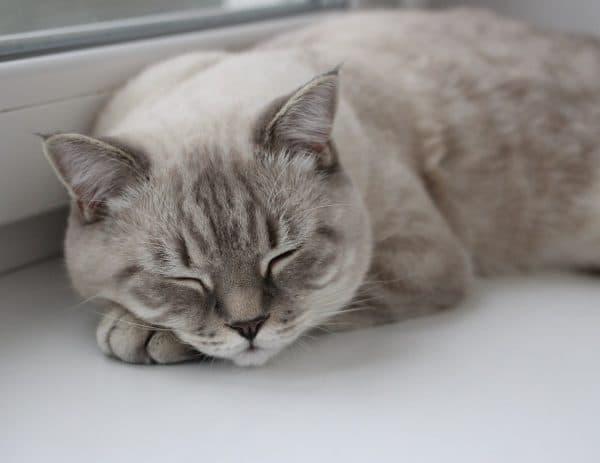 Скоттиш-страйт спит