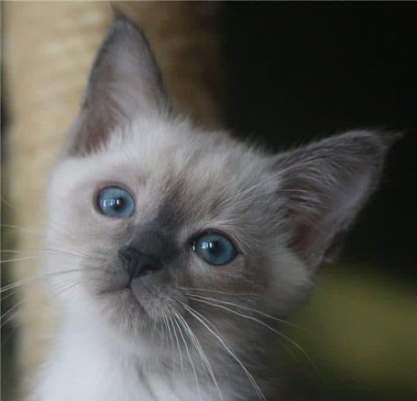 Тайская кошка блю-поинт