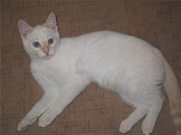 Тайская кошка кремового окраса