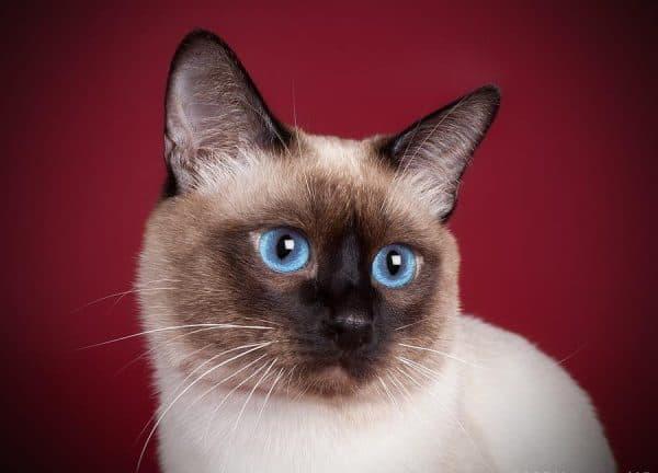 Тайская кошка удивительная