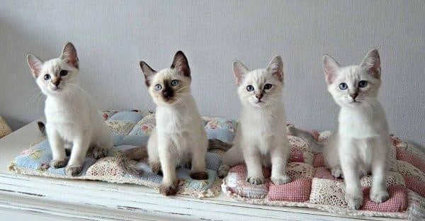 Тайская кошка. Описание породы, фото кошки, видео, характер и цены.